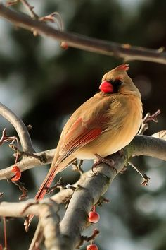 Beautiful Cardinal in winter Love Moments