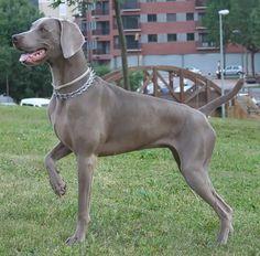 Conselhos para corrigir os cães Weimaraner