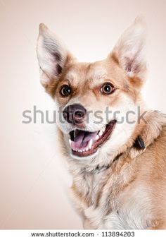 Find dog smile stock images in HD and millions of other royalty-free stock photos, illustrations and vectors in the Shutterstock collection. Thousands of new, high-quality pictures added every day. Smile Images, Smiling Dogs, Vectors, Corgi, Royalty Free Stock Photos, Fox, Illustration, Pictures, Animals