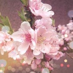 lovely peach flowers