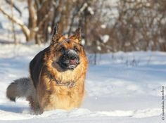 german shepherd in snow, (c) Anastasia Juravleva