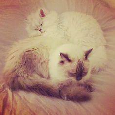 Zzz#cats #kitten #lovecats #ragdoll #chinchilla #Persian #kitten #meow #lovecat
