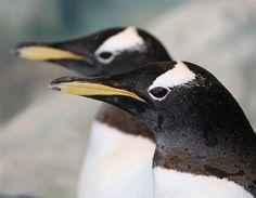 Gay penguin couple adopt an egg (© ILYA NAYMUSHIN/Reuters) via @HowzitMSN #animals