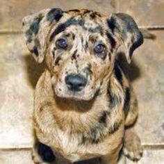 Catahoula Leopard #Hound #Dog