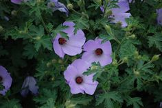 Alyogyne Misty --- For more Australian native plants visit austraflora.com