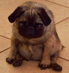 Sweet little Pug #pugdog