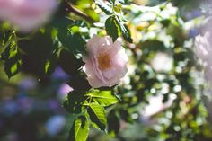 Roses   Tampere   Finland   What to do in Tampere   places to visit in Tampere   Tampere in summer  city trips   exploring Tampere   travelling   Suomi   See & Do in Tampere   bergermargaret   Roses   Photography Finland, Exploring, Travelling, Trips, Paradise, Places To Visit, Roses, City, Holiday