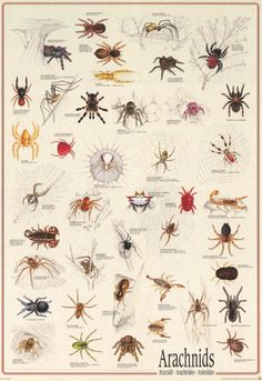 Halloween Science Ideas: Arachnids Types of Spiders Animal Identification Education Poster – BananaRoad Pet Spider, Spider Art, Spider Animal, Spider Tattoo, Spider Identification Chart, Types Of Spiders, Common Spiders, Types Of Bugs, Types Of Insects