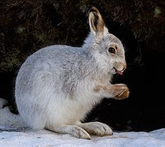 https://flic.kr/p/7kRZke | Smiler | 6.12.09 I absolutely froze to get this shot ... He thought it was funny though!  This ia a wild Mountain Hare very much in the freezing cold wild ... Not my pet bunny! Lol. Did I mention it was cold ...