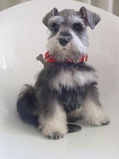 What an adorable Miniature Schnauzer puppy!! *❤