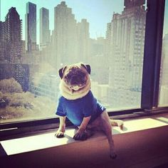 """""""Welcome to my concrete jungle. Woof."""" www.jointhepugs"""
