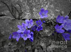 Black and white photo with accented bluebells flowers which grows on rock fence.