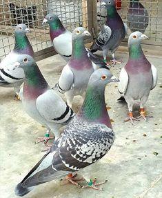 Pet Pigeon, Wood Pigeon, Pigeon Bird, Like Animals, Animals And Pets, Beautiful Birds, Animals Beautiful, Racing Pigeon Lofts, Pigeon Pictures