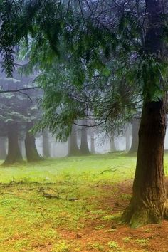 Forest, Fog, Plant