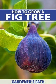 Do you love edible landscaping Try growing fruit trees And if you are in a warmer climate a fig tree makes for the perfect landscape specimen while producing tasty fruit… - Modern Fruit Tree Garden, Garden Trees, Fruit Trees, Trees To Plant, Fig Fruit, Herbs Garden, Garden Care, Growing Fig Trees, Tree Care