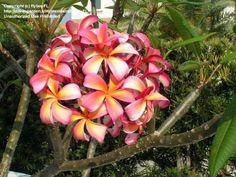 Bloom for June 24, 2013 is this gorgeous Plumeria rubra 'Teresa Wilder' shared by member flyboyFL.