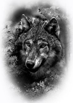 I quite simply like the pigments, outlines, and detail. This really is a fantastic concept if you really want a Wolf Tattoos Men, Tribal Wolf Tattoo, Wolf Tattoo Sleeve, Wolf Tattoo Design, Animal Tattoos, Wolf Images, Wolf Pictures, Beautiful Wolves, Animals Beautiful