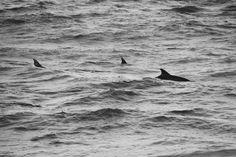 Dolphins www.feralphotography.co.za #dolphins