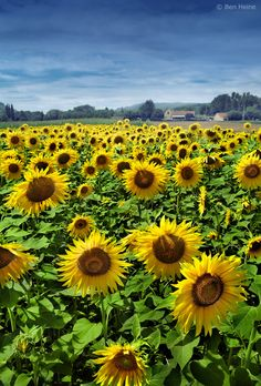 Sunflowers, Sarlat, France. We saw fields of sunflowers while bicycle touring along the Dordogne River towards Sarlat.