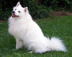 The Pomeranian and the American Eskimo Dog; two small Spitz breeds that share a lot of similarities. Alaskan Klee Kai, Shiba Inu, American Eskimo Dog, Cute Puppies, Dogs And Puppies, Havanese Puppies, Boxer Puppies, Labrador Puppies, Dogs Pitbull