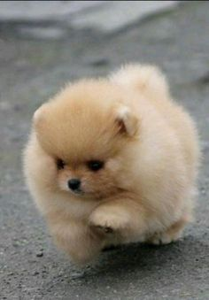 The cutest Pomeranian puppy Lieb - love animals (dogs) - Pomeranian in part . - The cutest Pomeranian puppy 💞 – love animals (dogs) – Pomeranian in part …, - Baby Animals Super Cute, Cute Little Animals, Cute Funny Animals, Funny Pets, Baby Animals Pictures, Cute Puppy Pictures, Dog Pictures, Cute Dogs And Puppies, Baby Dogs