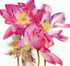This elegant, graceful and divine Sacred Lotus portrait was a Finalist and a Highly Commended Award winner in the Waterhouse Natural Science Art Prize 2014 Watercolor Disney, Watercolor Artists, Watercolor Flowers, Watercolor Paintings, Watercolors, Paint Flowers, Watercolor Cards, Botanical Flowers, Flowers Nature