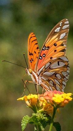 Backyard 'Gulf Fritillary butterfly' resting on Lantana flowers. - photo by Ricky Floyd