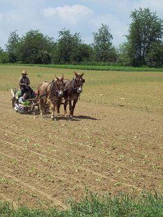 Amish planting tobacco #LancasterCounty
