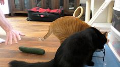 Cats And Cucumbers Cat And Dog Videos, Funny Cat Videos, Funny Cat Pictures, Funny Cats And Dogs, Cute Cats And Kittens, Cats And Cucumbers, Cat Drinking, Cat Whiskers, Cat People