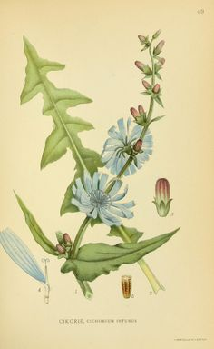Chicory (Cichorium intybus, Asteraceae), from 'Billeder af nordens flora', by Mentz & Ostenfeld, 1917-1927. Source: Biodiversity Heritage Library, BHL. [public domain image]