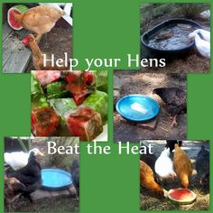 Beating the Heat    Doing all you can to help your chickens stay cool in the summer isn't a matter of 'spoiling' them, it can be a matter of life or death. Chickens have a hard time cooling off, so everything you can do to help them is beneficial.