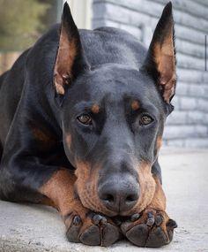 Cute Puppies, Cute Dogs, Dogs And Puppies, Doggies, Chien Dobermann, European Doberman, Baby Animals, Cute Animals, Puppy Barking