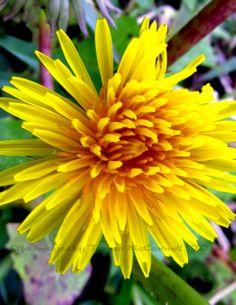 Small Yellow Dandelion with Bright Orange by LifeImagesByTeresaMc, $25.00