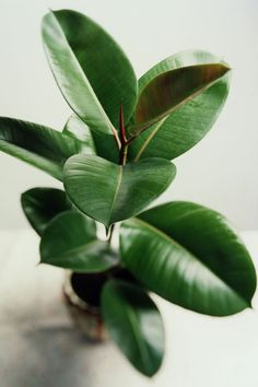 Rubber Tree / This easy-to-grow indoor house plant will grow into an eight-foot-tall tree for a major pop of greenery in a room. If you prefer a smaller plant, just make your rubber tree into a shrub shape by pruning any long stems. The dark green leaves Rubber Plant, Rubber Tree, Ficus Elastica, Container Gardening, Gardening Tips, Indoor Gardening, Organic Gardening, Green Leaves, Cottage Gardens