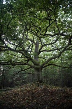 https://flic.kr/p/CR49cY | Paavola oak, Lohjansaari, Lohja