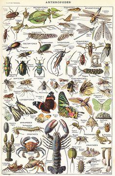 Arthropodes - Larousse universel - 1922