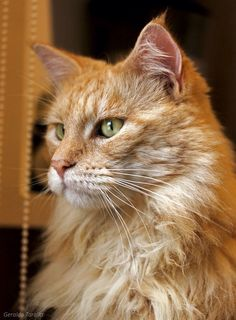 Maine Coon Cat http://www.mainecoonguide.com/