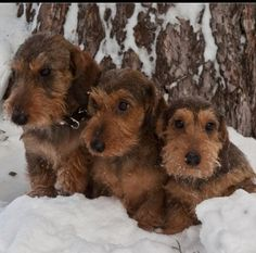 ❤Wirehair wieners are so darn cute...=}