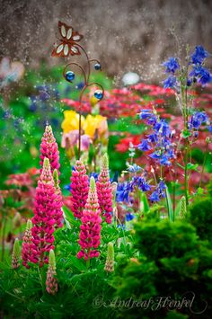 Lupins - flower beds with lots of pretty! Bold pink and purple blooms!