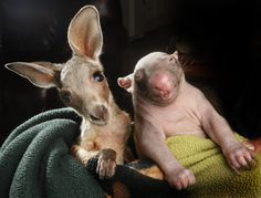 An orphaned kangaroo and wombat have found creature comfort with one another. Anzac the joey and Peggy the wombat have become best friends after sharing a pouch together at the Wildlife Kilmore Rescue Centre in Victoria, Australia (Picture: Rex)