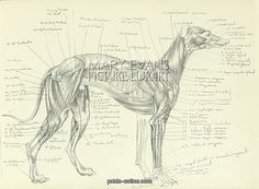 Hahnemuhle PHOTO RAG Fine Art Paper (other products available) - Anatomical drawing of the muscles of a greyhound, precisely labelled. - Image supplied by Mary Evans Prints Online - Fine Art Print on Paper made in the UK Fine Art Prints, Framed Prints, Canvas Prints, Italian Greyhound, A0 Poster, Poster Size Prints, Photo Puzzle, Online Printing, Digital Prints