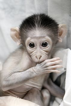 Loango, a crown male Mangabey monkey is cared for by his keeper at the Jardin des Plantes's zoo in Paris. The baby was born in the zoo March 5, 2012, and then rejected by his mother. (AFP Photo)
