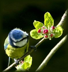 Blue tit inspecting apple blossom