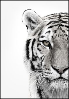 Animal Drawings ALU ART - WHITE TIGER, Malerifabrikken - Revive your inner Tiger! Self-confident, independent and autonomously: this animal-image is the perfect accessory for your interiors. Tiger Design, Tiger Tattoo Design, Tiger Sketch, Tiger Drawing, Tiger Artwork, Tiger Painting, Animals Black And White, Black And White Posters, Black And White Wallpaper