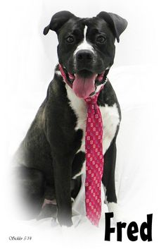 Fred~eu date 08/15/14~ Pit Bull Terrier & Boxer Mix • Adult • Male • Large City of Emporia Animal Shelter Emporia, KS
