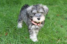 Definitely leaning towards getting a mini schnauzer puppy! <3
