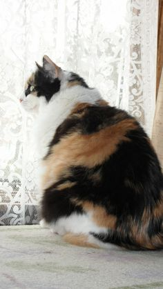 Pictures of Calico Cats