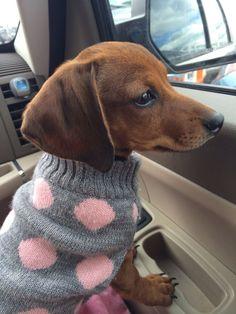 Dachshund ready for sweater weather #dachshund Mini dachshund