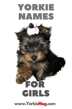 Yorkie Names – Choose The Best Name For Your Female or Male Yorkshire terrier - Yorkiemag Yorkie Names Girl, Cute Puppy Names, Girl Dog Names, Cute Girl Names, Yorkies, Morkie Puppies, Yorkie Puppy, Puppies Names Female, Teacup Yorkie