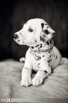 I will buy my youngest daughter a Dalmatian one day soon